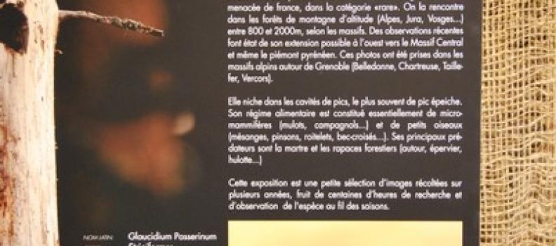 Exposition photographique : La chouette chevêchette